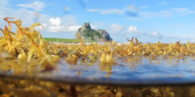 Estudo discute origem de algas flutuantes que invadiram a costa brasileira