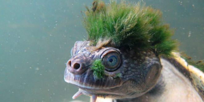 Cientistas alertam para risco de extinção da tartaruga punk