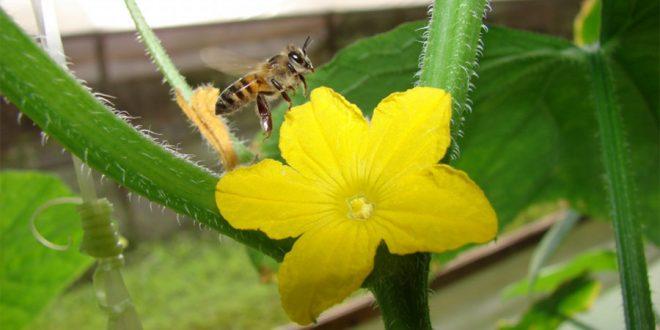 Cafeína pode diminuir efeitos de inseticidas em abelhas