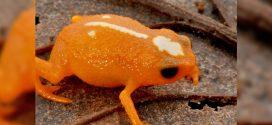Nova espécie de minisapo é descoberta em Santa Catarina