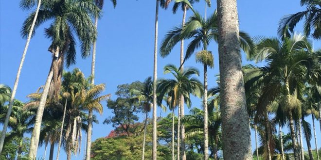 Professor descobre maior palmeira imperial do mundo em Rio Claro